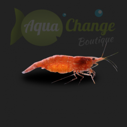 Red Cherry (Neocaridina davidi var red)