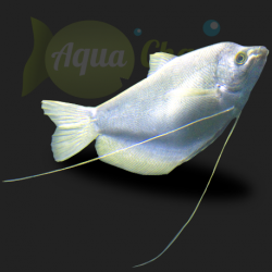 Gourami argent (Trichogaster microlepis)