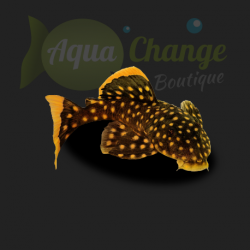 Baryancistrus xanthellus 'Golden Nugget' (L018, L081)