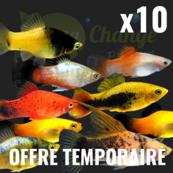 Lot de x10 Platy assortis