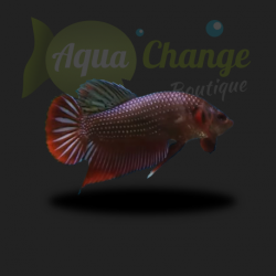 Betta splendens sauvage (le couple)