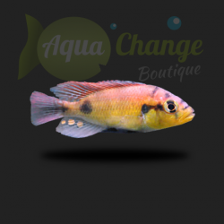 Astatotilapia aeneocolor (ou 'yellow belly')