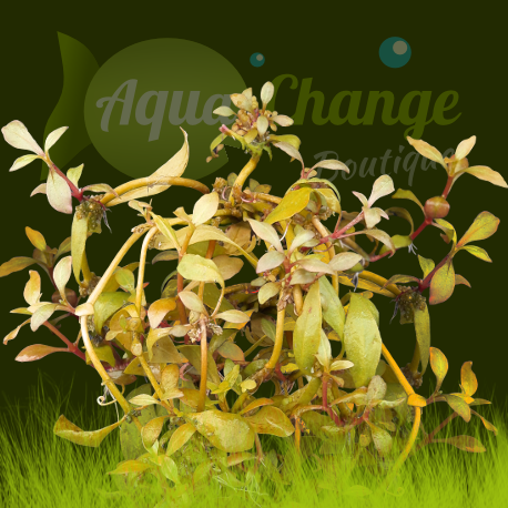 Alternanthera reinecki 'bronze'
