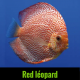 Discus red leopard