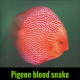 Discus blood snake