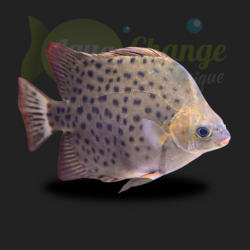 Scatophagus argus rouge