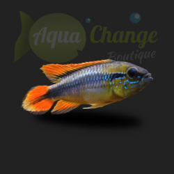Apistogramma agassizii 'double red'