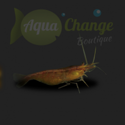 vente en ligne de crevettes d 39 aquarium aquachange boutique. Black Bedroom Furniture Sets. Home Design Ideas
