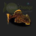 Baryancistrus xanthellus 'Golden Nugget' (L018)