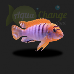 Labidochromis sp. hongi red top