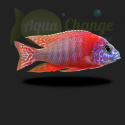 Aulonocara sp. red rubin