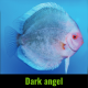 Discus dark angel