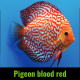 Discus pigeon blood red