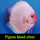 Discus pigeon blood silver