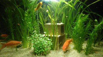 Mon poisson rouge passe d 39 un bocal un aquarium de 20l for Aquarium poisson rouge nettoyage