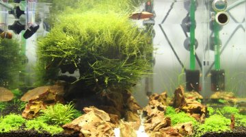 Aquascaper's tank 50l