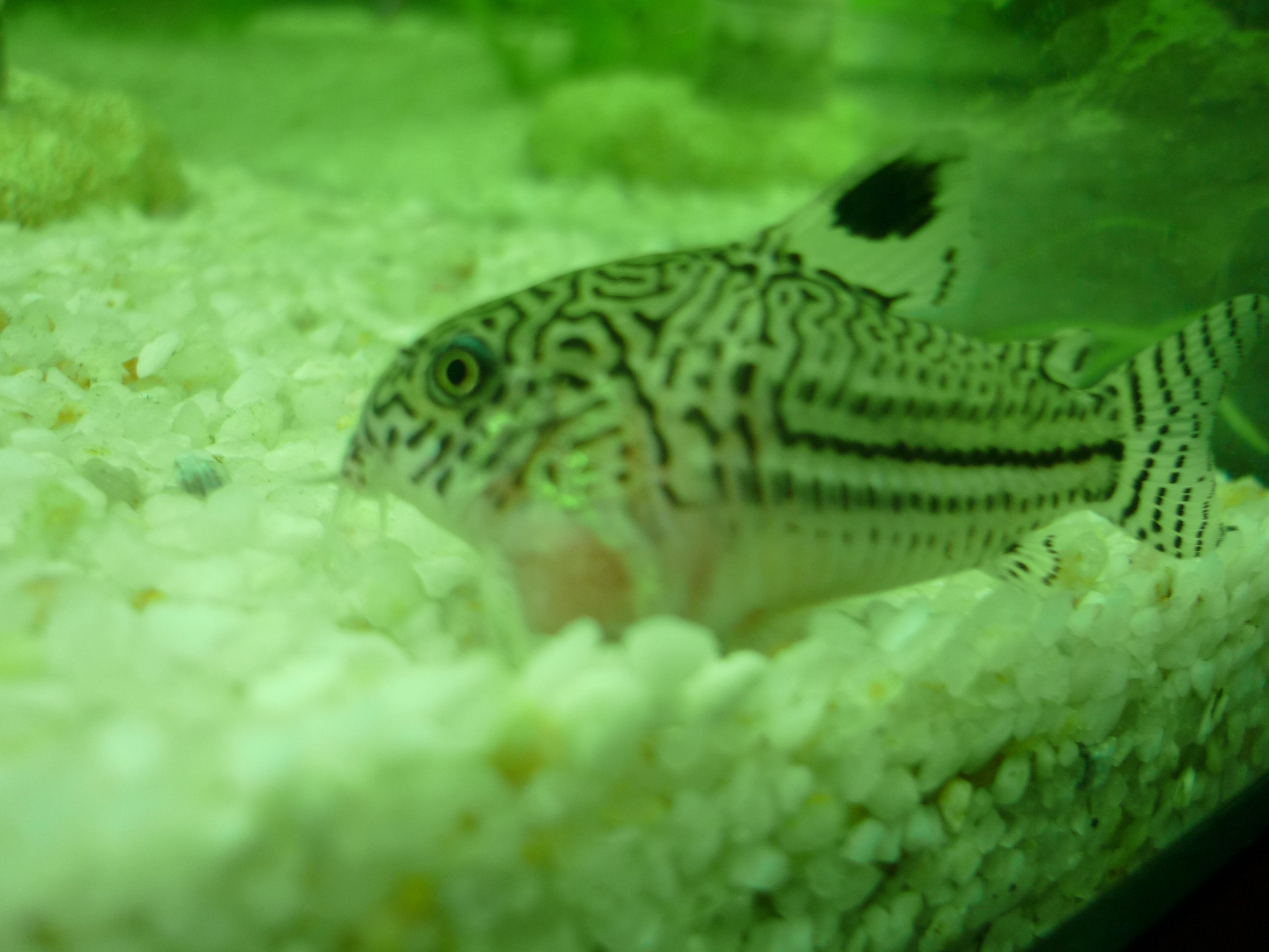 Corydoras bless comment soigner sa blessure for Bac hopital poisson