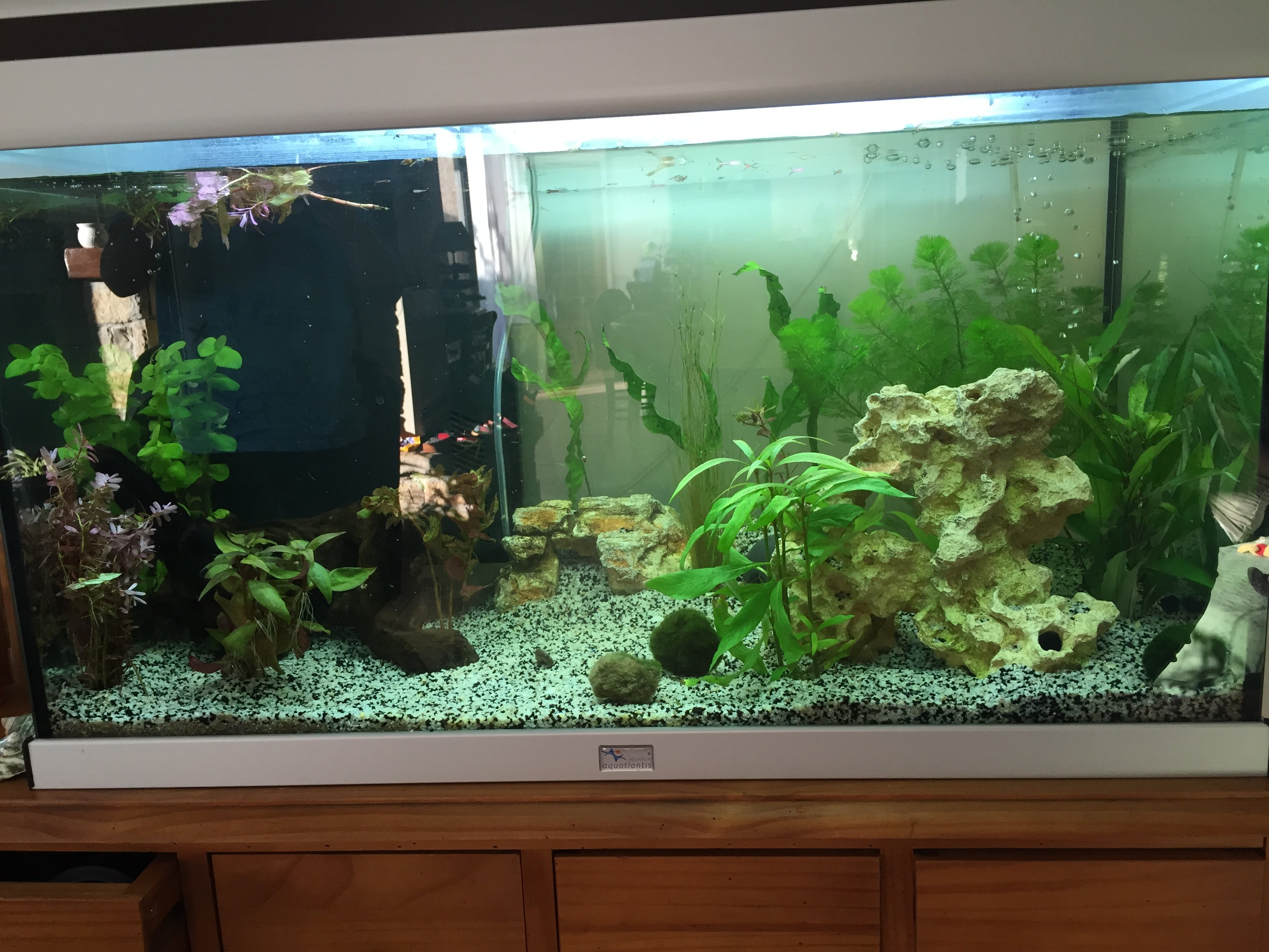 aquarium de 120 litres avec apistogramma cacatuoide et nez rouges. Black Bedroom Furniture Sets. Home Design Ideas
