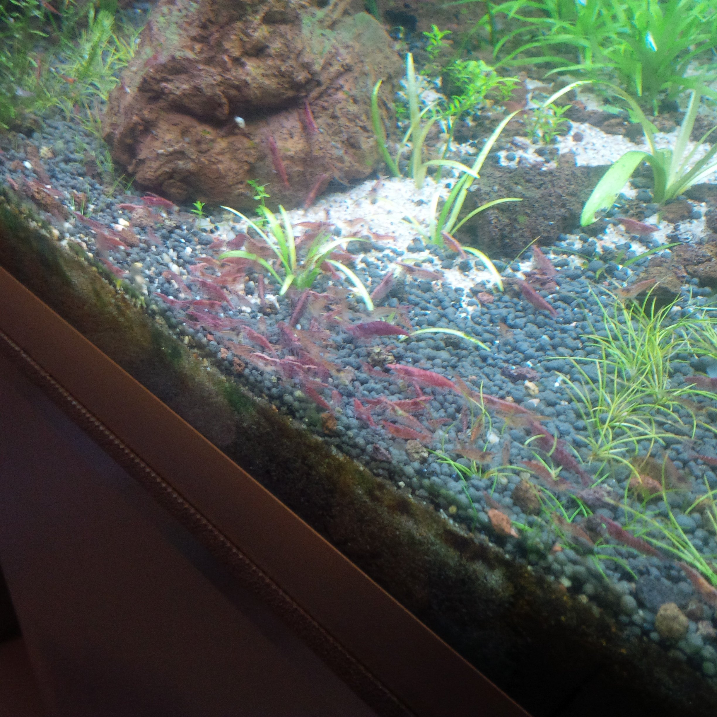 banc énorme de red cherry en aquarium