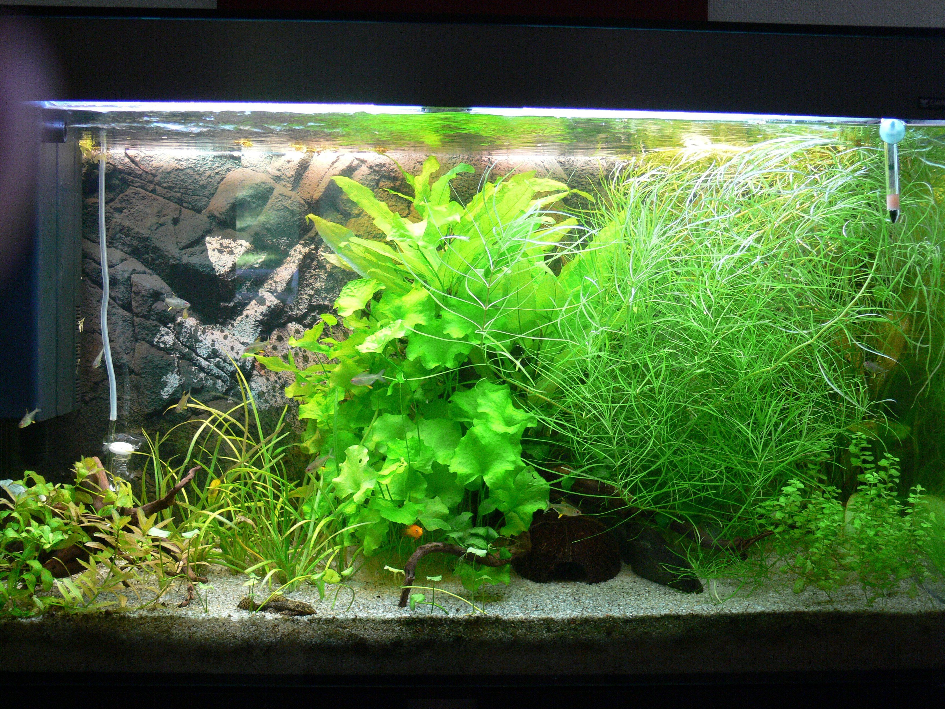 Quelle plante buissonnante for Plante aquarium eau douce