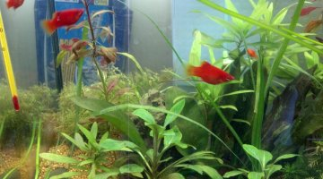 60 litres platy