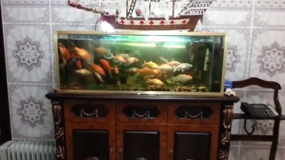 Vid o d 39 une grosse surpopulation de poissons rouges for Image aquarium poisson rouge