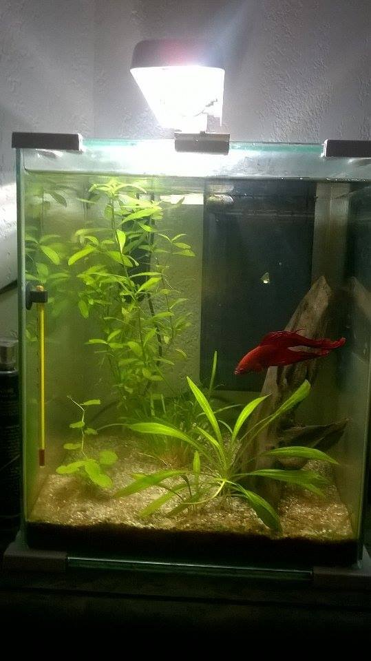 betta mâle dans son aquarium