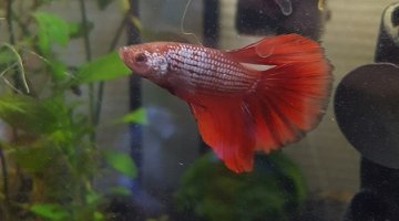 18l betta halfmoon dragon Mr Klaus