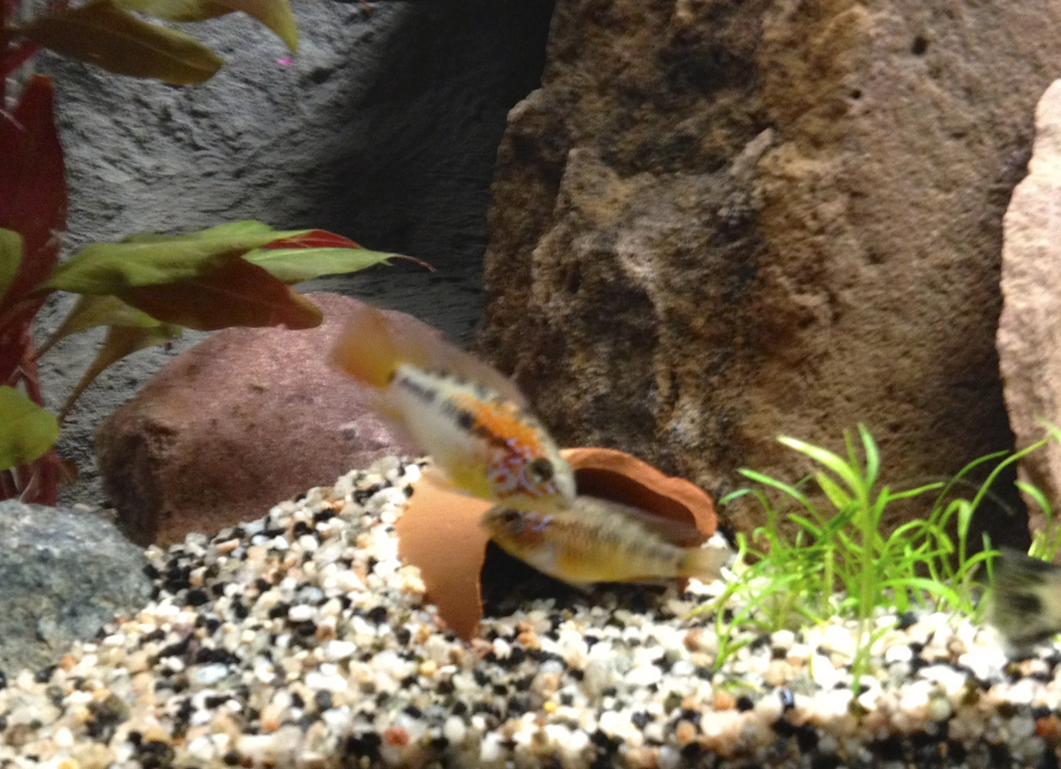 Couple Apisto Macmasteri red