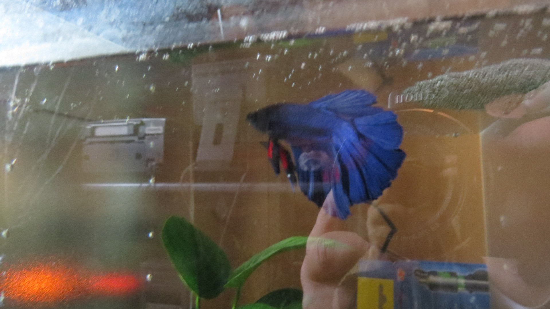 Male betta halfmoon ou demi lune
