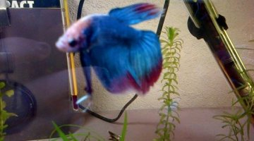 Bac Betta male 20L