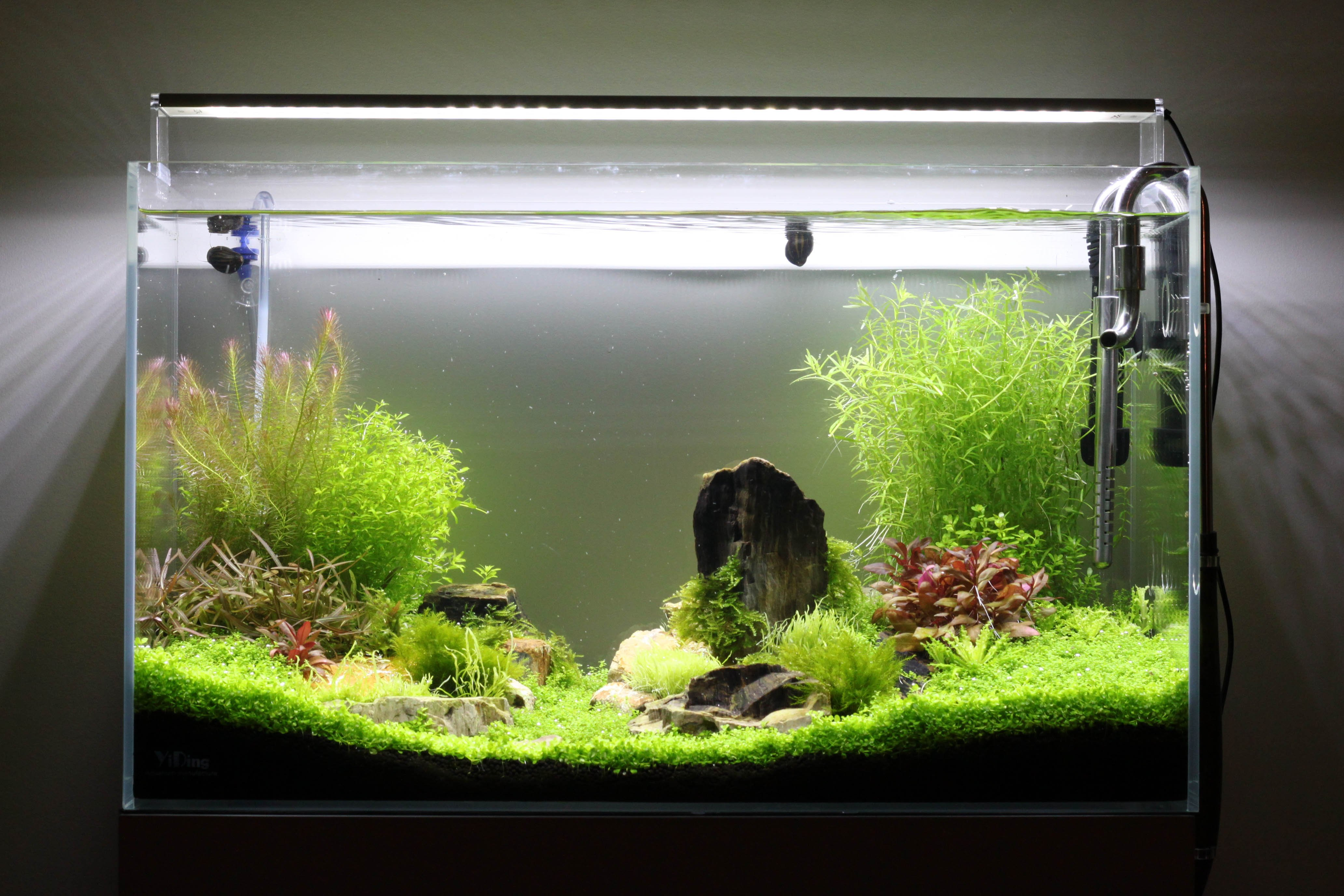 rotala à tailler