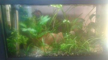20l betta splendens ANP