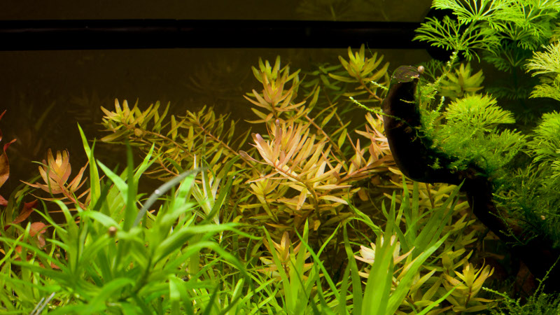Rotala Rotundifolia rouge