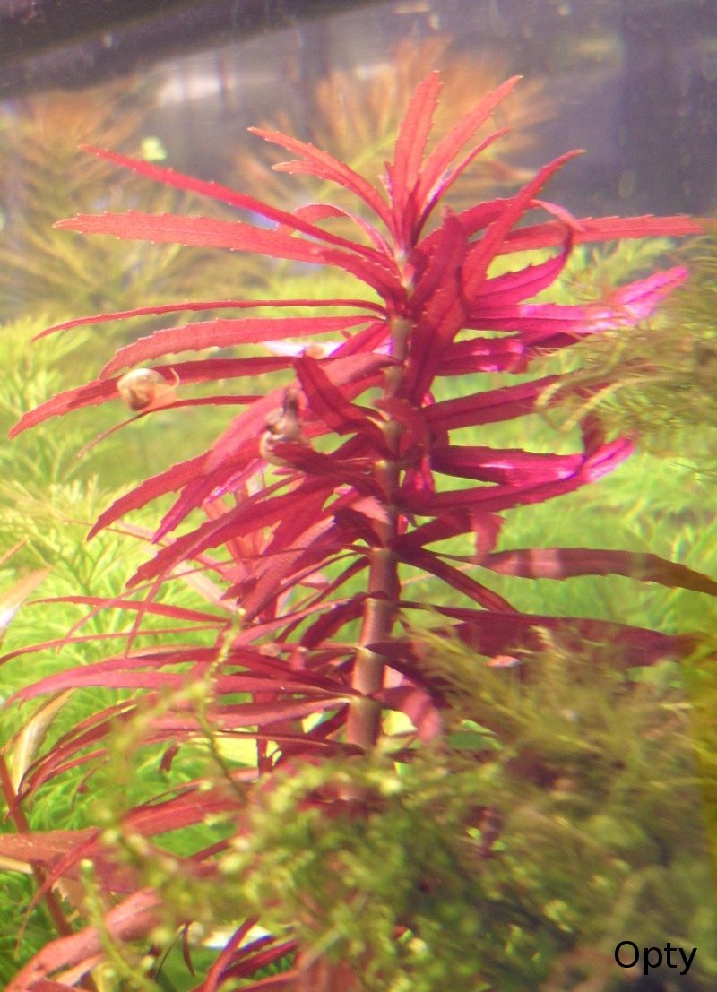 Ambulie aromatique limnophila aromatica for Plante feuille rouge