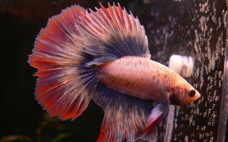 Poisson combattant betta splendens for Quand changer eau aquarium poisson rouge