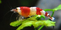 CRS / Crystal Red / Red Bee Caridina logemanni