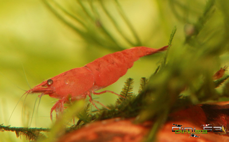 Neocaridina davidi var Red Sakura Preview_Red_Sakura_1