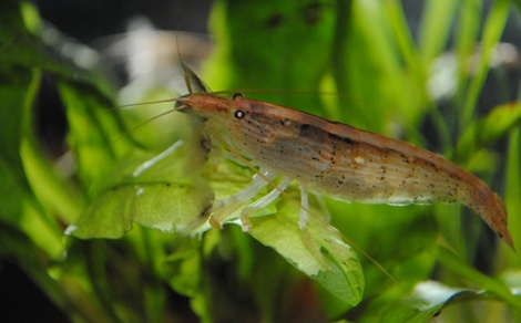 Crevette bambou Atyopsis moluccensis