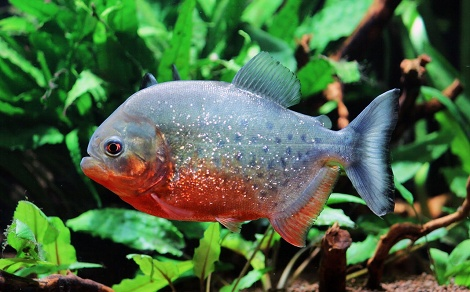 Piranha rouge pygocentrus nattereri for Quand changer eau aquarium poisson rouge