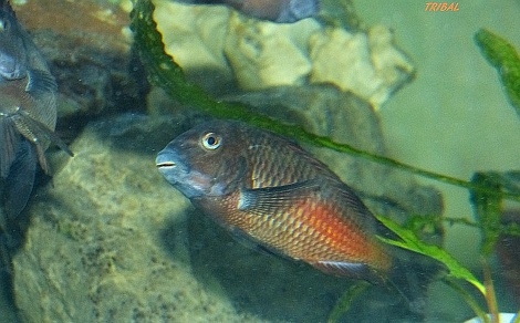 Tropheus sp. red Moliro