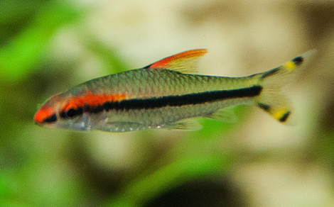 Barbus crayon sahyadria denisonii for Nom poisson rouge