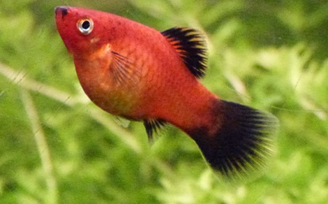 Platy xiphophorus maculatus for Quand changer eau aquarium poisson rouge
