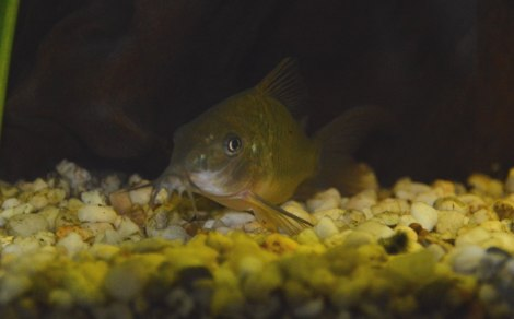 Corydoras splendens Preview_Corydoras-splendens