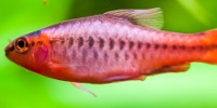 Poisson combattant betta splendens for Faux poisson rouge