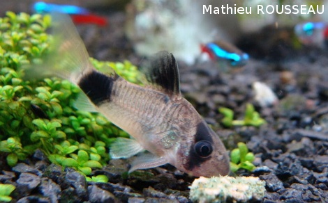 Corydoras panda for Quand changer eau aquarium poisson rouge
