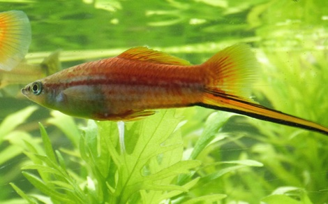 Xipho xiphophorus hellerii for Aquarium 1 poisson