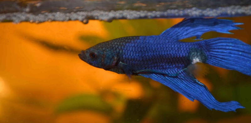 Poisson combattant betta splendens for Nourriture combattant