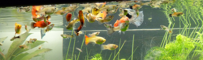 Guppy poecilia reticulata for Alimentation poisson rouge adulte